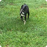 Boston Terrier Dog for adoption in Shaw AFB, South Carolina - Teako