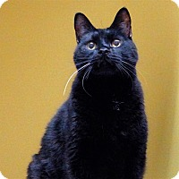 Domestic Shorthair Cat for adoption in Sedona, Arizona - Bart