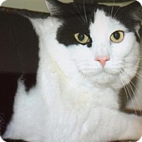 Domestic Shorthair Cat for adoption in Breinigsville, Pennsylvania - Oreo