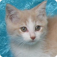 Domestic Shorthair Kitten for adoption in Cuba, New York - Bows Haberdashery