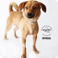 Adopt A Pet :: Brutus - Sherman Oaks, CA