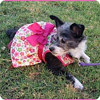 Terrier (Unknown Type, Small) Mix Dog for adoption in Phoenix, Arizona - Daisy