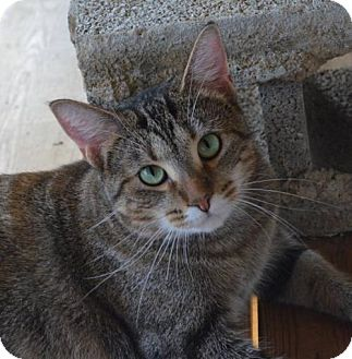 Domestic Shorthair Cat for adoption in Brownsboro, Alabama - Cat Benatar