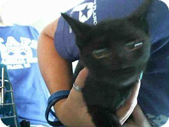 Domestic Mediumhair Kitten for adoption in Plano, Texas - BRIDGETTE