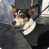 Jack Russell Terrier/Rat Terrier Mix Dog for adoption in Verona, New Jersey - Viola: Adoption Pending