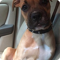 American Bulldog/Boxer Mix Puppy for adoption in New Canaan, Connecticut - Nala