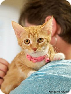 Domestic Shorthair Kitten for adoption in Nashville, Tennessee - Shiloh