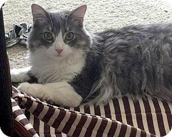 Domestic Longhair Cat for adoption in North Las Vegas, Nevada - Cupcake