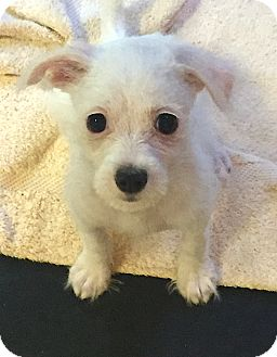 Terrier (Unknown Type, Small) Mix Puppy for adoption in Boca Raton, Florida - PJ