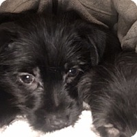 Adopt A Pet :: Dugan-adoption pending - Schaumburg, IL