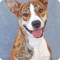 Adopt A Pet :: Fina - Encinitas, CA