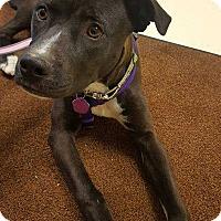 Pit Bull Terrier/Labrador Retriever Mix Dog for adoption in Denver, Colorado - Lucy