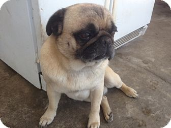 Pug Puppy for adoption in Anaheim, California - Rocky