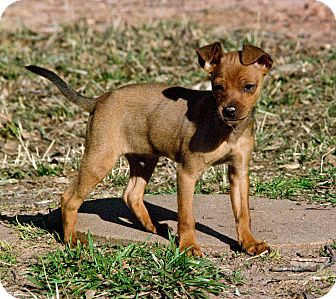 Miniature Pinscher Mix Puppy for adoption in Greensboro, Georgia - ike