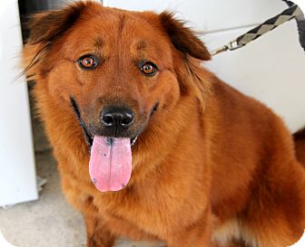Chow Chow Mix Dog for adoption in Bradenton, Florida - Stella