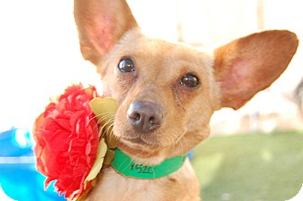 Chihuahua/Corgi Mix Dog for adoption in Phoenix, Arizona - Ginger