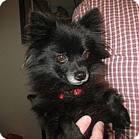 Adopt A Pet :: Missy Prissy Pom - Greenville, RI