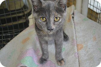 Calico Kitten for adoption in East Smithfield, Pennsylvania - Tilda