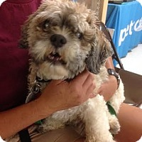 Adopt A Pet :: Popeye - Studio City, CA