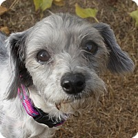 Adopt A Pet :: Lillee - Henderson, NV