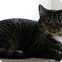 Domestic Shorthair Cat for adoption in Tampa, Florida - Amani