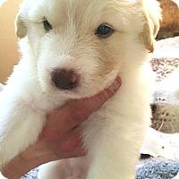 Adopt A Pet :: Willow - Kyle, TX