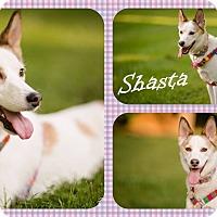 Adopt A Pet :: Shasta - DOVER, OH