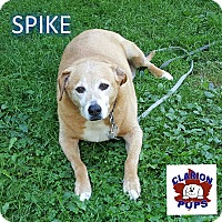 Labrador Retriever Mix Dog for adoption in Strattanville, Pennsylvania - SPIKE
