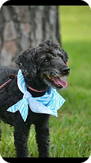 Poodle (Miniature) Mix Dog for adoption in Houston, Texas - Noodle