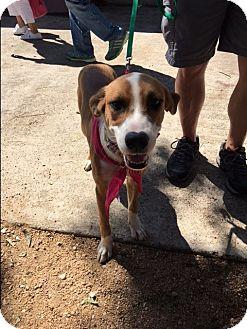 Labrador Retriever/Border Collie Mix Dog for adoption in Spring, Texas - Hope