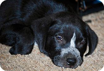 Labrador Retriever Mix Puppy for adoption in East Windsor, Connecticut - Rio-ADOPTION PENDING
