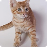 Domestic Shorthair Kitten for adoption in Baton Rouge, Louisiana - Butternut