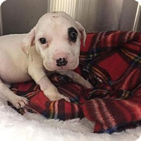 Adopt A Pet :: Penny - Whitestone, NY