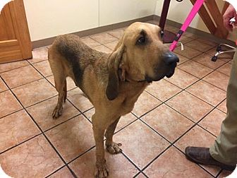 Bloodhound Mix Dog for adoption in Killeen, Texas - Carl