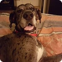 Great Dane Dog for adoption in Norwood, Georgia - Rueger