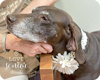 German Shorthaired Pointer/Labrador Retriever Mix Dog for adoption in Portland, Oregon - Brook