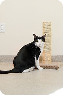 Domestic Shorthair Cat for adoption in Peace Dale, Rhode Island - Jasper