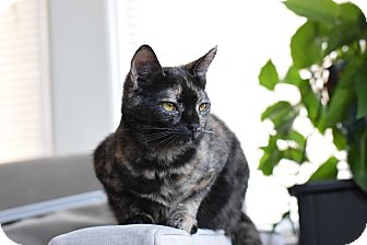 Domestic Shorthair Cat for adoption in Virginia Beach, Virginia - Olive