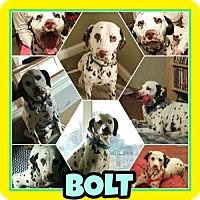 Adopt A Pet :: Bolt - Fort Collins, CO