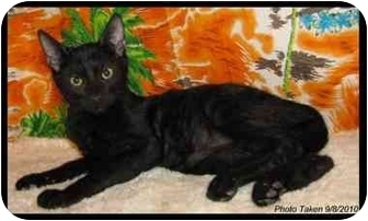 Bombay Kitten for adoption in Orlando, Florida - Mauli