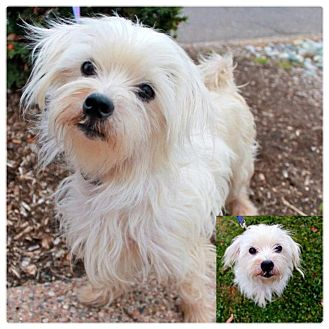 Maltese/Poodle (Miniature) Mix Dog for adoption in Garden City, Michigan - Simon