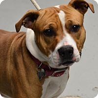Adopt A Pet :: Bella 1 - Yonkers, NY