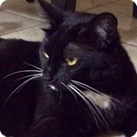 Domestic Shorthair Cat for adoption in Scottsdale, Arizona - Col. Sanders-foster?