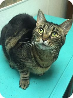 Domestic Shorthair Cat for adoption in Jackson, Tennessee - Georgina