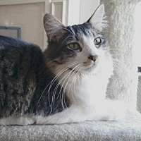 Domestic Mediumhair Cat for adoption in Alameda, California - Homer