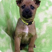 Adopt A Pet :: Bartolo - Westminster, CO
