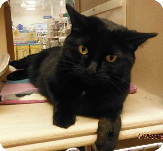 Domestic Shorthair Cat for adoption in Toledo, Ohio - Shadow
