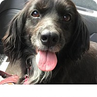 Cocker Spaniel Mix Dog for adoption in Rustburg, Virginia - Sadie: Fostered