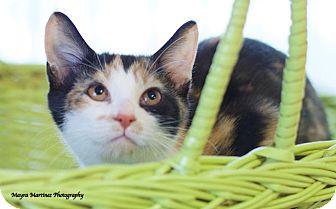 Domestic Shorthair Kitten for adoption in Marietta, Georgia - Louise