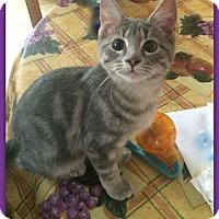 Adopt A Pet :: Siam Zen 23541 - Pampa, TX